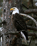 An American bald eagle sits on a branch.