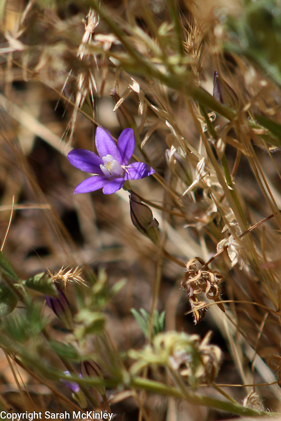 A Blue Dicks wildflower growing amid dry grasses alongside Reynold's Highway outside of Willits in Mendocino County in Northern California.