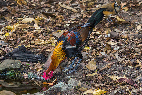The Red Junglefowl (Gallus gallus, male) is ancestral to the modern domesticated chicken (Kaeng Krachan, Thailand)