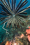 Malapascua Island, Cebu, Philippines; a feather star at the end of a sea rod above the coral reef