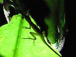 Geco sobre planta carnívora / Panamá.