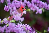 Male Northern Cardinal (Cardinalis cardinalis) in redbud tree.  Spring.