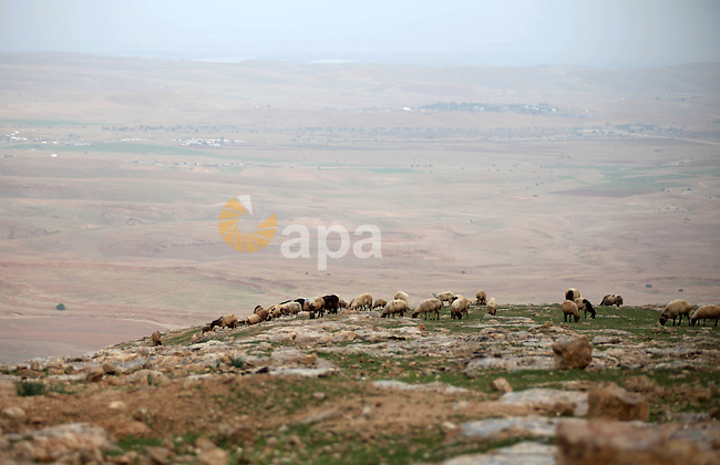 Flock of sheep are seen in the Jordan Valley near West Bank city of Jericho on December 14, 2014. Israel has heavily invested in transferring the Jordan Valley into a completely Israeli area. Tens of settlements and agricultural outposts have been established by Israel in the Valley, which makes up about one-third of the total area of the West Bank occupied since 1967, which the international community does not recognize as an Israeli land. Photo by Shadi Hatem