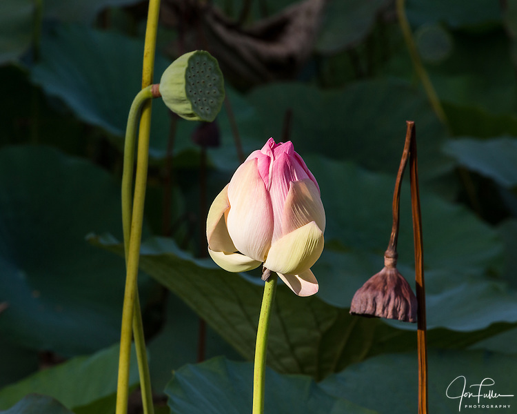 Lotus flower bud and seed pod, Nelumbo nucifera, in the Georgetown Botanical Gardens, Georgetown, Guyana.  The lotus flower comes originally from India and is considered sacred to the Hindus and Buddhists.