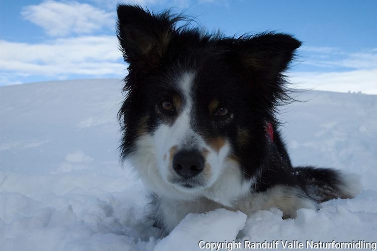 Border collie i snø ---- Border collie in snow