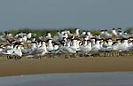 Sternes royales sur l'île aux oiseaux.Sénégal. Delta du Saloum
