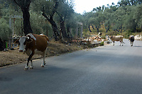 Four cows walk on the asphalt road at an olive forest in Ulcinj, Montenegro, Europe