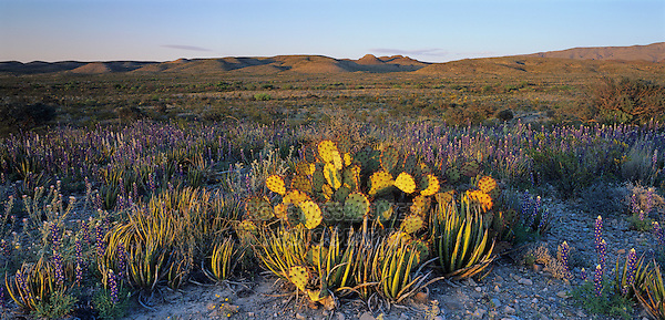 Desert in bloom with Big Bend Bluebonnet and Prickly pear cactus, Big Bend National Park,Texas, USA