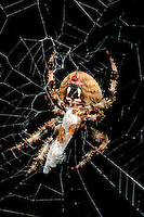 37000038 wild female orb weaver spider araneaus ssp in web wrapping prey in silk southern california