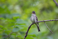 Eastern Wood-Pewee (Contopus virens) calling from a tree at the Scherman Hoffman Wildlife Sanctuary in Bernardsville, New Jersey.