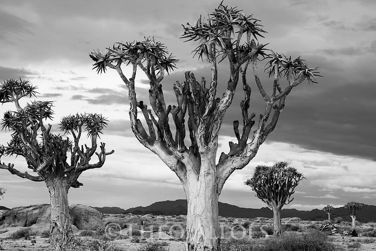 Namibia, Namib Desert, quiver trees (Aloe dichotoma) under dark, cloudy sky