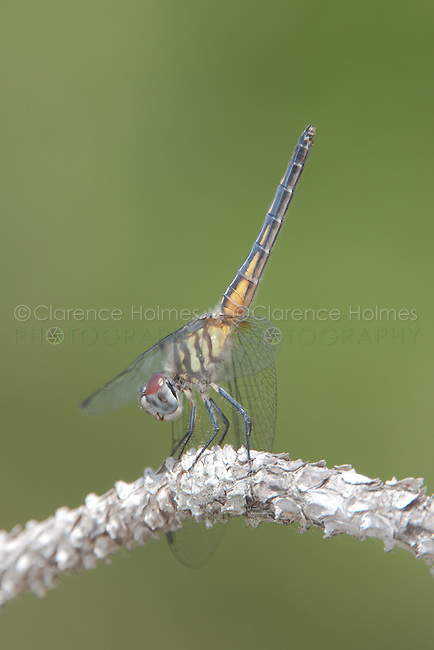 Blue Dasher (Pachydiplax longipennis)  Dragonfly - Female obelisking, Lake Kissimmee State Park, Lake Wales, Polk County, Florida