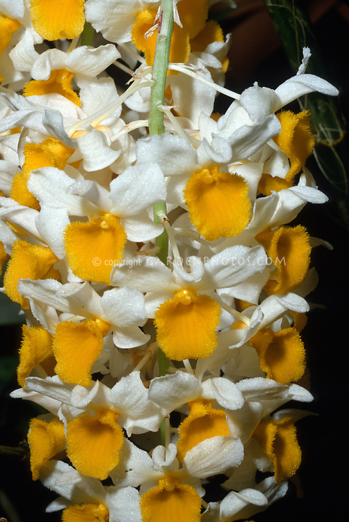 Orchid species: Dendrobium thyrisflorum Pinecone-like Raceme Dendrobium. It is native to the Himalayas