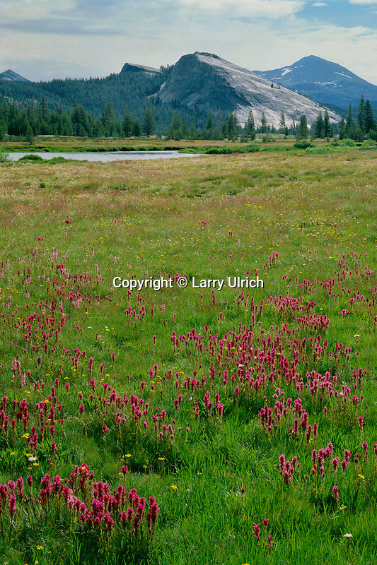 Lemmon's paintbrush in Tuolumne Meadows<br />