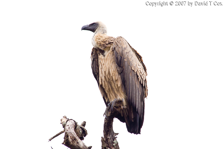 African White-backed Vulture, Hluhluwe-Umfolozi NP, SA