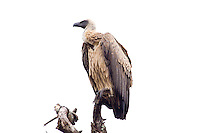 African White-backed Vulture, Hluhluwe-Umfolozi NP, SA
