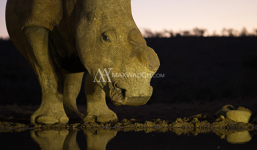 This white rhinos has had its horns cut off, a measure taken to save its life from poachers.