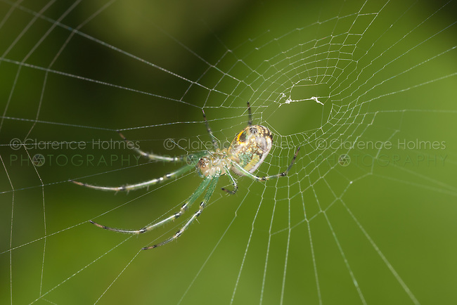 Orchard Orbweaver (Leucauge venusta) - Female, spinning its web, West Harrison, Westchester County, New York