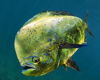 mahi mahi, dorado or dolphinfish, Coryphaena hippurus, bull, Florida coast, USA, Atlantic Ocean