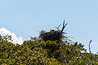 US, Florida. Ten Thousand Islands, Everglades. Osprey nest.