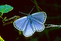 Lungenenzian-Ameisenbläuling, Kleiner Moorbläuling, Phengaris alcon, Maculinea alcon, Glaucopsyche alcon, Alcon blue, Alcon large blue, L'Azuré des mouillères, le Protée, Bläulinge, Lycaenidae, blues