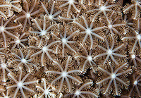 Delicate soft coral filter feeders, Yap Micronesia (Photo by Matt Considine - Images of Asia Collection)