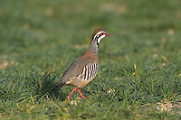 Red-legged Partridge Alectoris rufa L 32-34cm. Dumpy, well-marked gamebird. Forms small parties (covies), outside breeding season. Hunted and often wary. Prefers to run from danger but flies low on stiffly-held wings. Sexes are similar. Adult has red bill and legs, and white throat bordered with gorget of black spots. Plumage is otherwise mainly blue-grey and warm buff except for black and white barring on flanks. Juvenile has grey-buff plumage with hint of adult's dark markings. Voice Utters a loud ke che-che, ke che-che… call. Status Introduced but well established, mainly on arable farmland with mature hedgerows and scattered woods.
