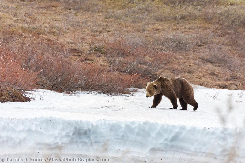 Grizzly bear along the Nigu river, National Petroleum Reserve, Alaska.