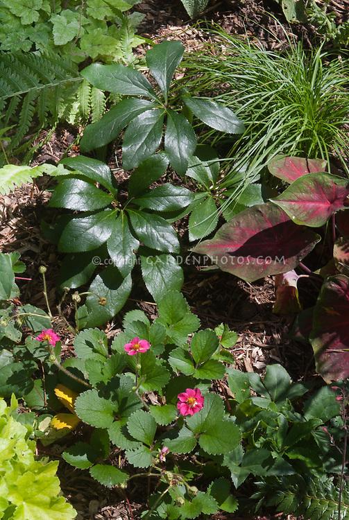 Shade garden plants Helleborus, Caladium, Carex pensylvanica, Heuchera Key Lime, ornamental strawberry Fragaria