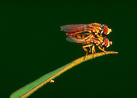 Close up of two Hover flies mating on a blade of grass or leaf.