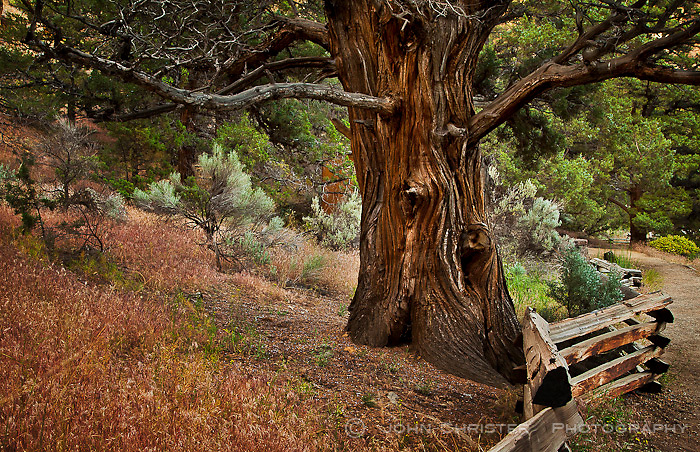 A knotty tree along the River Trail by the Crooked River at Smith Rock State Park, Central Oregon