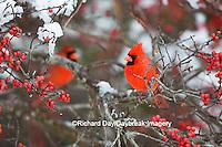 01530-21813 Northern Cardinal (Cardinalis cardinalis) male in Common Winterberry bush (Ilex verticillata) in winter, Marion Co IL