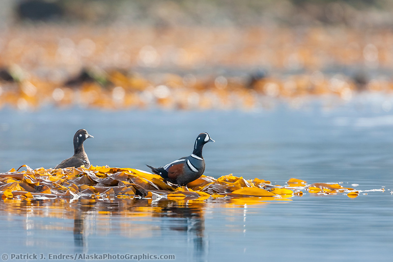 Harlequin ducks, Unakwik Inlet, Prince William Sound, southcentral, Alaska