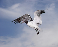 A smallish gull with a black head, the Laughing Gull is abundant along the southern Atlantic and Gulf coasts.