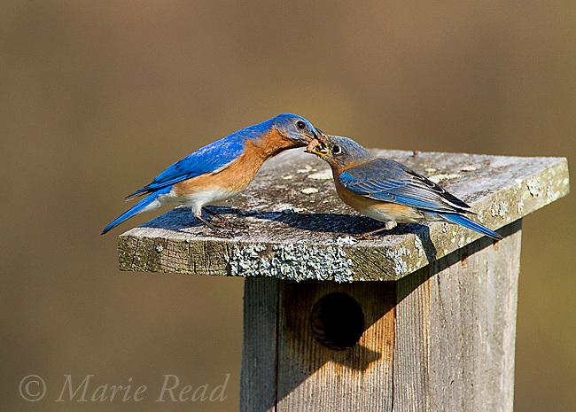 Eastern Bluebird (Sialia sialis) male feeding mealworms to female on top of their nestbox in spring, New York, USA.