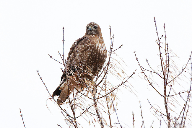 A hawk in the top of a tree in Montana