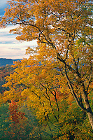 Chestnut oaks<br />