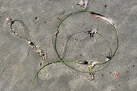 Sea Grass on Sand, art, Kalaloch Beach in Olympic National Park, Washington.  Beaches in the Kalaloch area of Olympic National Park, identified by trail numbers, are remote and wild.  Olympic Peninsula, Olympic Mountains, Olympic National Park, Washington State, USA.