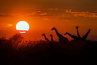 A herd of Giraffes silhouetted at sunset