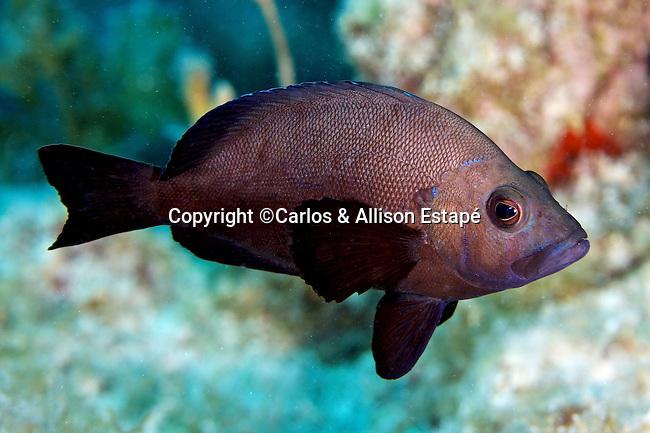 Hypoplectrus nigricans, Black hamlet, Florida Keys