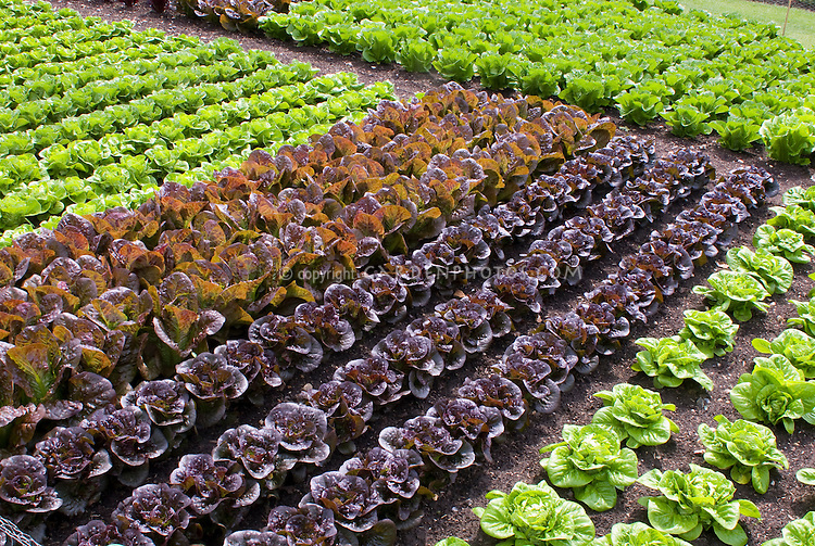 Rows of lettuce variety Plant Flower Stock Photography