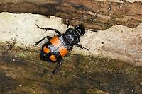 Schwarzhörniger Totengräber, Schwarzfühleriger Totengräber, Waldtotengräber, Aaskäfer, Necrophorus vespilloides, burying beetle