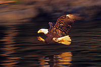 Bald eagle fishing (Haliaeetus leucocephalus) catching early light on wings.