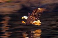 Bald eagle fishing (Haliaeetus leucocephalus) catching early light on wings.