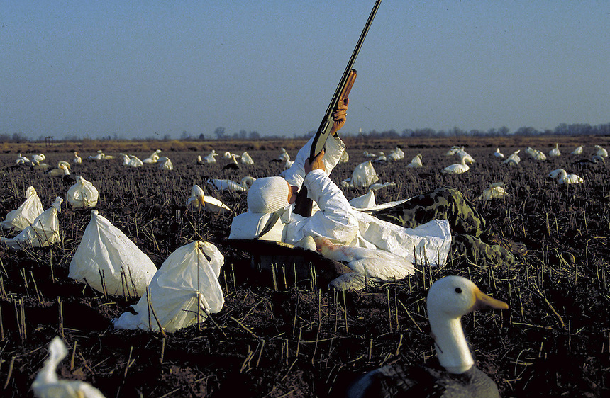 67edc3bac8d53 Snow goose hunter laying in decoys, Stuttgart, Arkansas. First photo →