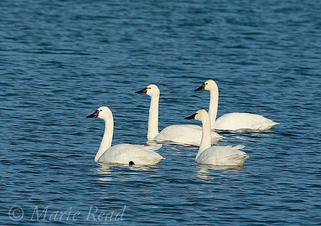 Tundra Swans (Cygnus columbianus), group of four swimming, winter, Amherst Island, Ontario, Canada