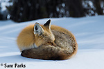 Red fox sleeping in winter. Grand Teton National Park, Wyoming.