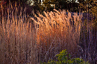 Winter light on meadow grasses, Miscanthus and Calamagrostis reed grass flower stalks in California garden