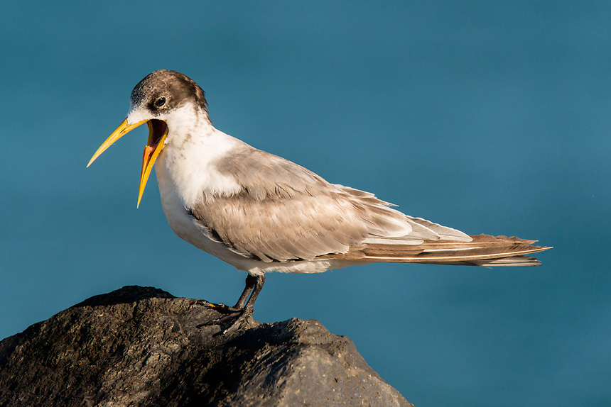 Crested Tern, Ballina, New South Wales.