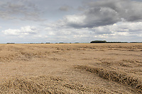 Laid Wnter wheat <br /> ©Tim Scrivener Photographer 07850 303986<br />      ....Covering Agriculture In The UK....